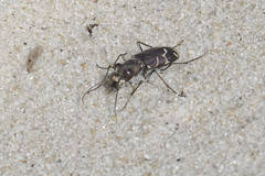 Tiger Beetle (brucetopher) Tags: tigerbeetle tiger beetle cicindela beach sand beachtigerbeetle insect 6 six legs sixlegs bug critter creature tiny beauty beautiful pattern elytra maculations shell camouflage fast elusive animal outdoor purple purplish big dark heat sandy identified