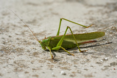 Heuschrecke / Orthoptera / grasshopper (Bernd Götz) Tags: heuschrecke grasshopper orthoptera