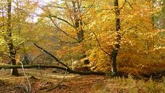 New Forest NP, Hampshire, UK (east med wanderer) Tags: england hampshire newforestnationalpark lyndhurst forest park oak beech bracken highlandwater autumn
