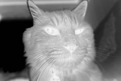Today's Norio is Shy, variant (sjrankin) Tags: 3september2019 edited animal cat closeup livingroom kitahiroshima hokkaido japan norio couch