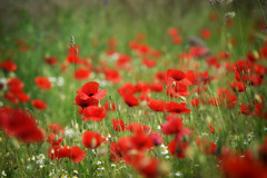 Le rouge éternel des coquelicots (Excalibur67) Tags: nikon d750 sigma globalvision contemporary 100400f563dgoshsmc paysage landscape flowers fleurs coquelicots poppies pavots nature prairie rouge red