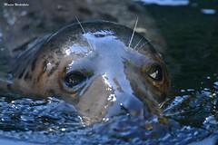 091 (Monica Westerholm) Tags: säl skansen zoo djurpark djur seal animal