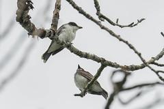 Eastern Kingbird (Tyrannus tyrannus) (byjcb) Tags: kingbird birds