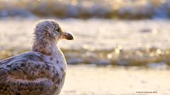 Face à la mer (Patabois) Tags: mer oiseau goéland mouette bretagne morbihan coucher soleil sable plage g sea