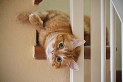 Spritz (En memoria de Zarpazos, mi valiente y mimoso tigre) Tags: kitten cat gato gatto micio ginger orange roux red rosso arancione tabby greeneyes bigeyes funny crazy spritz posing posando