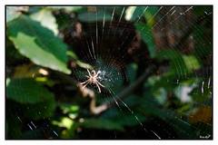 Spider in the Web (eagles2001it) Tags: macro spiderweb spider web ragno