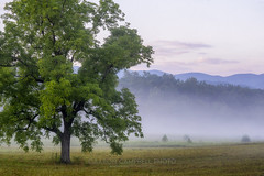 Tree & the Mist, 2019.08.19 (Aaron Glenn Campbell) Tags: cadescove looptrail gsmnp smokymountains nps townsend tennessee tn morning fog mist smoke nikcollection viveza colorefexpro softfocus glow sony a6000 ilce6000 mirrorless canon fdn28mmf28 wideangle primelens manualfocus fotodiox lensadapter emount