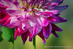 Dahlia Season (Gary Grossman) Tags: summer beauty flower dahlia blossom drop waterdrop august nature northwest garygrossman garygrossmanphotography pacificnorthwest willamettevalley canby swanislanddahlias naturephotography