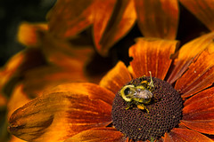 Bee and Blossom (KWPashuk (Thanks for >3M views)) Tags: sony alpha a6000 55210mm lightroom luminar luminar2018 luminar3 luminar31 kwpashuk kevinpashuk bee blossom flower echinacea garden gairloch gardens oakville ontario canada nature outdoors