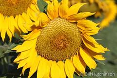 September 1, 2019 - A sunflower lit up. (Bill Hutchinson)