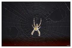 Holes in the Web (eagles2001it) Tags: macro ragno spider ragnatela web spiderweb