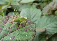Speckled bush-cricket (m) (rockwolf) Tags: speckledbushcricket cricket sauterelle leptophyespunctatissima insect orthoptera haughmondhill uptonmagna shropshire rockwolf