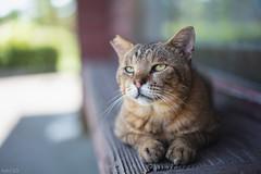 猫 (fumi*23) Tags: ilce7rm3 sony sel55f18z sonnar sonnartfe55mmf18za a7r3 animal cat chat feline gato emount 55mm ねこ 猫 ソニー bokeh dof
