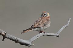 American Kestrel (T) (Hammerchewer) Tags: americankestrel bird raptor falcon female wildlife outdoor