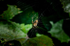 The spider weaves a cobweb close-up. (ivan_volchek) Tags: abstract animal arachnid arthropod arthropoda background brown bug closeup creature creepy cross crossspider diademspider europeangardenspider fear garden gardenspider highangle highangleview indoors insect invertebrate macro natural nature net nopeople pattern poison scary spiderweb spidery spooky studioshot summer venomous viewfromabove weaving web white wildlife
