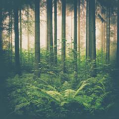 greencooldown (_andrea-) Tags: sonya7m2 sonyphotography winterthur wald wintiwald outdoor fern farn wood woodmagic woods lights light fog morgenstimmung sc