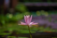 Pink waterlily (Changer4Ever) Tags: nikon d750 1050mmf28 pink waterlily plant flower nature color colorful bokeh dof depthoffield blossom bloom