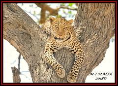 LEOPARD (Panthera pardus) ...MASAI MARA.....SEPT 2018. (M Z Malik) Tags: nikon d3x 200400mm14afs kenya africa safari wildlife masaimara exoticafricanwildlife exoticafricancats flickrbigcats leopard pantheraparduc ngc npc