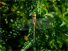 Female migrant hawker (Phil McIver) Tags: hawker bradgatepark leicestershire