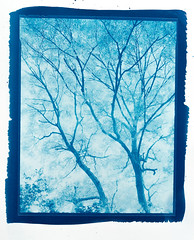 Acontius Project: 'Fraxinus in silvis pulcherrima' – 8x10 cyanotype º (CactusD) Tags: chamonix 810v 8x10 10x8 largeformat large format film greatbritain great britain uk unitedkingdom gb england warwickshire whichford whichfordwood woodland ash fraxinus trees tree ilford fp4plus blackandwhite monochrome bw black white blackwhite nikkorsw150mmf8 pyrocathd btzs texture landscape virgil eclogues pastoral eclogue7 altpro acontius cyanotype alternativeprocesses contactprinting contactprints berggercot320paper 11x14 chamonixviewcameras