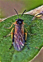 Rosenbüstenhornwespe (Arge ochropus (Gmelin in Linnaeus 1790)) (naturgucker.de) Tags: ngidn421925566 argeochropus gelberosenbürstenhornblattwespe