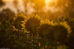 2019.09.02.6577 Backlight (Brunswick Forge) Tags: 2019 virginia grouped day clear sunny sun sunrise nikond500 sunflowers botetourtcounty botetourt natureinfocusgroup commented favorited