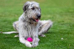 Finn (chrisleboe) Tags: irishwolfhound dog wolfhound wolfie