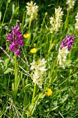 Orchids, Megas Lakkos ravine, Timfi, Greece (Miche & Jon Rousell) Tags: greece zagori mountains pindos pindosmountains timfi lake dragonlake drakolimni megalakkos gorge ravine orchid pink yellow