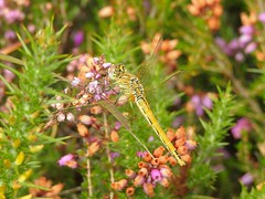 Red-veined Darter (Sympetrum fonscolombii) (Nick Dobbs) Tags: insect dragonfly heath dorset darter heathland sympetrum redveined fonscolombii