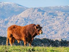 Limousin (Manuel A. M.) Tags: panasonicdcg9 leicadg100400f4063 panasonicg9 lumixg9 lumix limousin sierradeguadarrama colmenarviejo leica g9 mft vacuno elyelmo lapedrizademanzanares fantasticnature alittlebeauty coth5