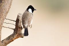White-eared Bulbul (Rajiv Lather) Tags: vögel vogelstand birds birding birder birdwatching aves avifauna nature wildlife bulbuls trees