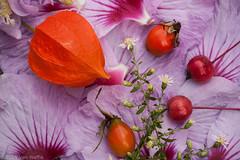 Miniature Still Life #25 (vaneramos) Tags: chineselantern physalisalkekengi twinoaks aster crabapple macro miniaturestilllife roseofsharon rosehip