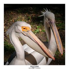Pelicans (Ignacio Ferre) Tags: pelican pelícano ave aveacuática bird animal waterfowl london londres lumix panasonic retrato portrait