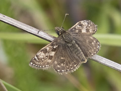 Dingy Skipper (JaneTurner68) Tags: dingyskipper skipper butterfly insect ardersiercommon ardersier inverness scottishhighlands scotland canonsx70 canon