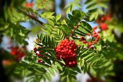 Rowan (nikkorglass) Tags: tc20ii nikon nikkor d500 70200f28 berry bär rönn rowan autumn fall red röd tree teleconverter
