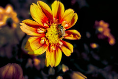 Dahlia flower with bee (scorpion (13)) Tags: dahlia flower with bee blossom nature color plant insect su late summer garden photoart creative