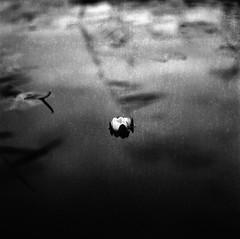 Water lily - Hasselblad 500cm (fromfarbeyond) Tags: hasselblad 500cm jch film filmphotography jch400 bw 120 planar carlzeiss water lily sweden näckros stillness calmness moody dark analog analogue asa400 streetpan jchstreetpan400