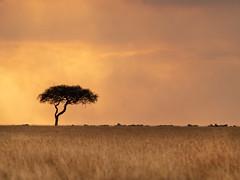 Landscape, acacia,zebras, Masaï Mara, Kenya (Amdelsur) Tags: masaïmara continentsetpays afrique kenya africa ke ken