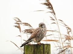 Common Kestrel / Torenvalk / Falco tinnunculus ! (Jambo53 ()) Tags: copyrightrobertkok crobertkok nature dutchwildlife sunrise zonsopkomst falcotinnunculus female riet reed pole paal countryside platteland polder