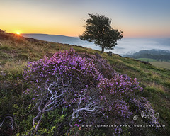 Heather sunrise (John Finney) Tags: hopevalley uk england landscape nature highpeak atmosphericmood beautyinnature pennines peakdistrict environment weather castleton northwestengland outdoors photography valley mist derbyshire sunrise nationalpark fog heather purple bloom buxton unitedkingdom