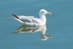 Goéland et son reflet (Romain Valet) Tags: oiseau mer goéland mouette bleu port honfleur