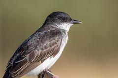 Eastern Kingbird (Gf220warbler) Tags: montana tyrannus flycatcher migrant kingbird