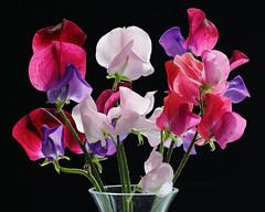 IS7DII_099449-52 Stack (Ian Slingsby) Tags: sweetpea macro focusstack flower