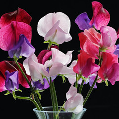 IS7DII_099449-52 Stack Sq (Ian Slingsby) Tags: sweetpea macro focusstack flower