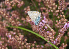 Back home from holiday and a fast check how 'my' nature reserve was doing (III) (Elisa1880) Tags: polyommatus icarus common blue icarusblauwtje blauwtje vlinder butterfly insect heath heather solleveld den haag the hague nederland netherlands