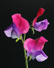 IS7DII_099466-70 Stack (Ian Slingsby) Tags: sweetpea focusstack macro flower