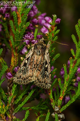Heath Rustic (Xestia agathina) (gcampbellphoto) Tags: heathrustic xestiaagathina moth insect nature wildlife macro northantrim ireland gcampbellphoto