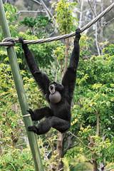 Can You Hear Me Now? (San Diego Zoo Global) Tags: primate primates sandiego sandiegozoo animals animal nature wildlife siamang baby babyanimals infants zoonooz
