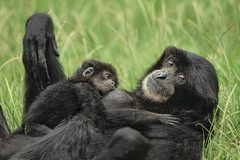 Siamang Infant Nursing (San Diego Zoo Global) Tags: primate primates sandiego sandiegozoo animals animal nature wildlife siamang baby babyanimals infants zoonooz