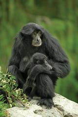 Siamang Mother with Infant (San Diego Zoo Global) Tags: primate primates sandiego sandiegozoo animals animal nature wildlife siamang baby babyanimals infants zoonooz